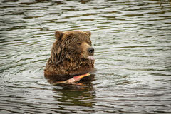 Reusachtig draag etend de zalmvissen in Katmai NP, Alaska Stock Foto's