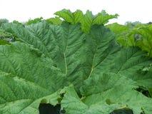 Reusachtig groen blad royalty-vrije stock afbeelding