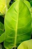 Reusachtig groen blad Stock Afbeeldingen