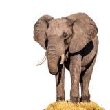 Reusachtige Afrikaanse die olifant op witte achtergrond wordt geïsoleerd Royalty-vrije Stock Afbeeldingen