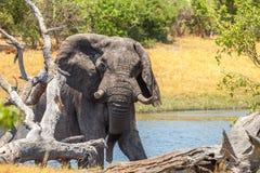 Reusachtige Afrikaanse Olifant Royalty-vrije Stock Foto's