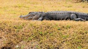 Reusachtige Amerikaanse alligator Stock Afbeeldingen