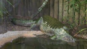 Reusachtige Amerikaanse alligator die in een vijver, Amerika duiken stock videobeelden