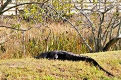 Reusachtige Amerikaanse alligator die in moerasland rusten Stock Fotografie