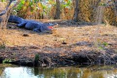 Reusachtige Amerikaanse krokodille open mond, Florida Stock Afbeeldingen