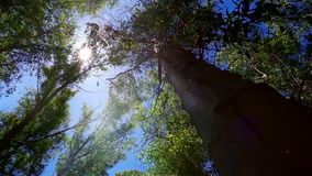 Reusachtige boom in bos en zonlicht stock videobeelden