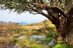 Reusachtige boom boven vulklei Royalty-vrije Stock Fotografie