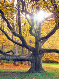 Reusachtige boom en de zon in de herfst Stock Fotografie