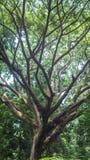 Reusachtige boom met vele takken Royalty-vrije Stock Afbeeldingen
