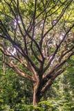Reusachtige boom met vele takken Stock Afbeelding