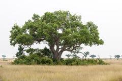 Reusachtige boom in Tropes Stock Fotografie