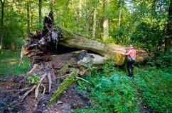 Reusachtige boomstam van de boom en de vrouw - Bialowieza, Polen royalty-vrije stock afbeelding