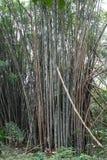 Reusachtige boomstammen in een bamboebos stock afbeelding
