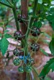 Reusachtige bossen van de tomaten van de bessenkers in een serre op een landbouwbedrijf royalty-vrije stock foto