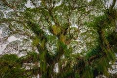 Reusachtige brede tropische bosdieboom van onderaan Caraïbisch Trinidad en Tobago wordt bekeken stock afbeelding