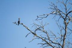 Reusachtige bruine gekleurde vogel die zich op een tak van een droge boom bevinden stock afbeelding
