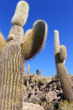 Reusachtige Cactus, Salar DE Uyuni, Bolivië Stock Afbeeldingen