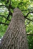 Reusachtige eiken boom Stock Afbeelding