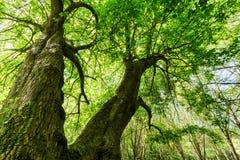 Reusachtige esdoornboom Royalty-vrije Stock Afbeeldingen