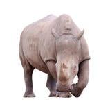Reusachtige geïsoleerded rinoceros Stock Afbeeldingen