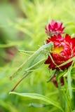 Reusachtige groene sprinkhaan op een rode bloem Royalty-vrije Stock Fotografie