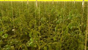 Reusachtige high-tech serre met veel tomaten het groeien stock footage