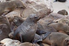 Reusachtige kolonie van Bruine bontverbinding - zeeleeuwen in Namibië Royalty-vrije Stock Foto
