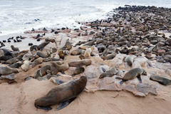 Reusachtige kolonie van Bruine bontverbinding - zeeleeuwen in Namibië Stock Foto's