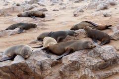 Reusachtige kolonie van Bruine bontverbinding - zeeleeuwen in Namibië Stock Fotografie