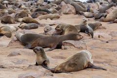 Reusachtige kolonie van Bruine bontverbinding - zeeleeuwen in Namibië Stock Afbeeldingen