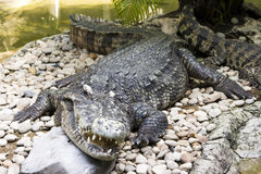 Reusachtige krokodil royalty-vrije stock foto's