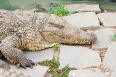 Reusachtige krokodillen van Madagascar Stock Foto's
