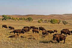 Reusachtige kudde van buffels in Custer State Park stock afbeelding