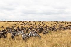 Reusachtige kudden van ungulates op de Serengeti-vlaktes Masaimara savanne Kenia, Afrika Stock Afbeelding
