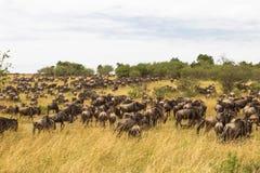 Reusachtige kudden van ungulates Savanne van Masai Mara Kenia, Afrika Royalty-vrije Stock Afbeeldingen