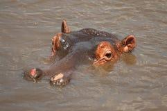 Reusachtige mannelijke amphibius van het hipponijlpaard in een pool in het Nationale Park van Serengeti, Tanzania royalty-vrije stock foto