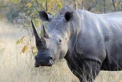 Reusachtige mannelijke rinoceros Stock Fotografie
