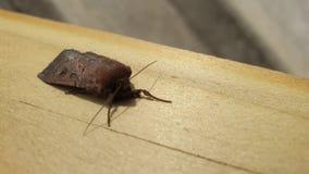 Reusachtige mot die op pieve van hout rusten stock footage