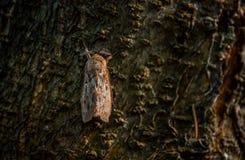 Reusachtige mot op de boomschors bij zonsondergang Stock Foto's
