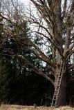 Reusachtige naakte boom met een lange ladder in het midden van een bos royalty-vrije stock afbeelding