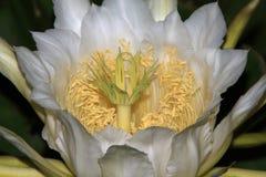 Reusachtige Nacht het Bloeien Cereus Bloemmacro Royalty-vrije Stock Foto's