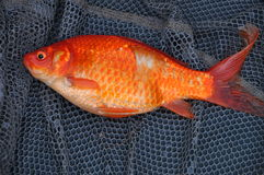 Reusachtige oranje karpervissen Royalty-vrije Stock Foto's