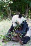 Reusachtige panda een beer Royalty-vrije Stock Foto's