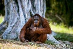 Reusachtige roodharige orangoetanzitting onder een grote boom stock foto's