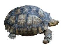 Reusachtige schildpad Stock Afbeeldingen
