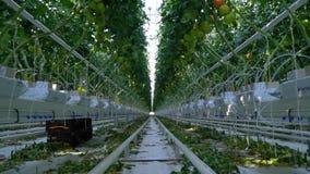 Reusachtige serre met tomaten die daar worden gekweekt stock video