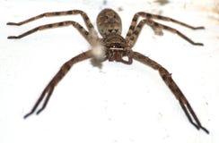 Reusachtige spin op muur Royalty-vrije Stock Foto