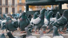 Reusachtige Troep van Duiven die Brood in openlucht in de Stadsstraat eten stock footage