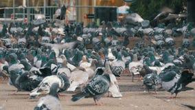 Reusachtige Troep van Duiven die Brood in openlucht in de Stadsstraat eten stock video