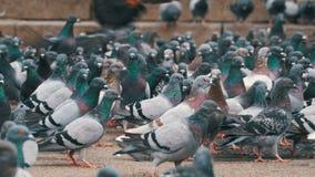 Reusachtige Troep van Duiven die Brood in openlucht in het Stadspark eten stock video